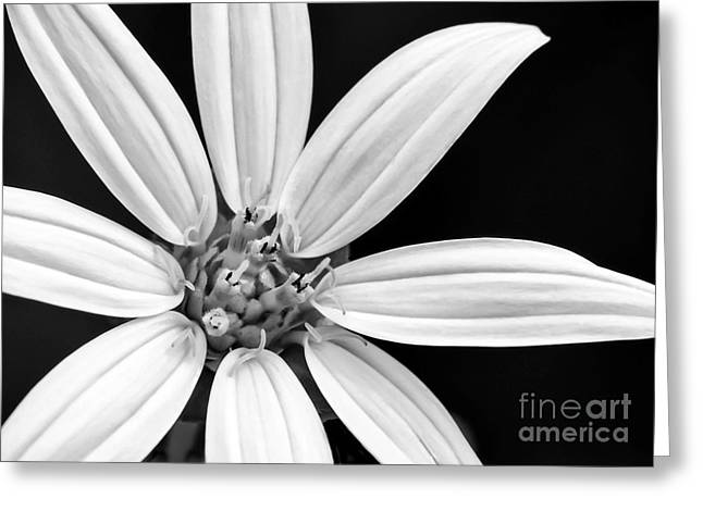 White And Black Flower Close Up Greeting Card by Sabrina L Ryan