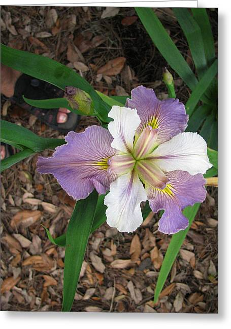 White And Lavender Iris Flower Greeting Card by Tom Hefko