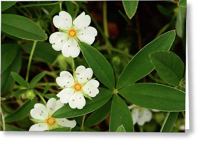 White And Orange Flowers, And Palmate Greeting Card