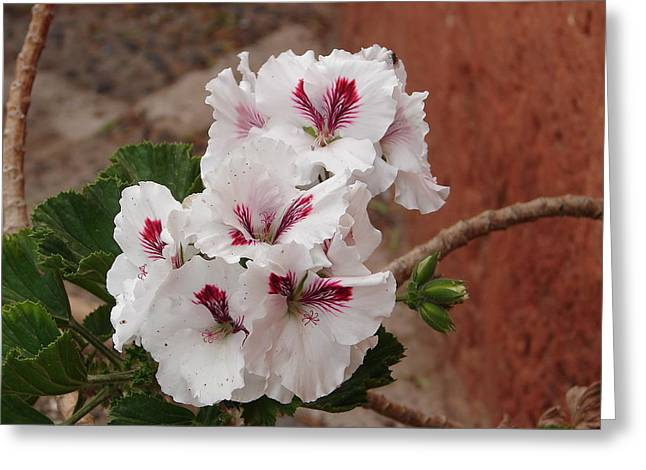 Greeting Card featuring the photograph White And Red Geraniums by Lew Davis