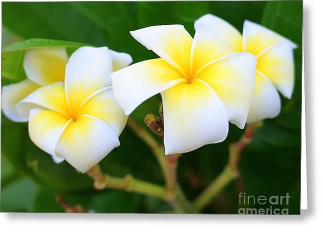White And Yellow Pumeria Greeting Card