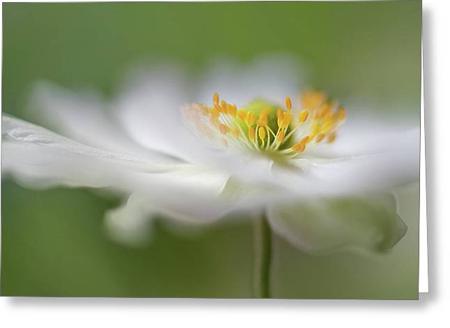 White Anemone Greeting Card
