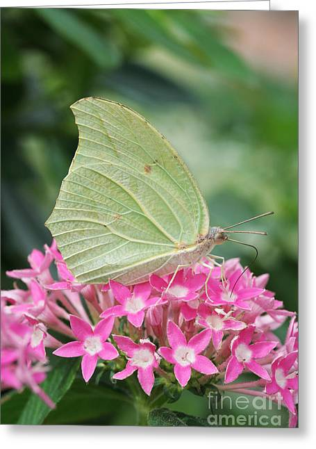 Greeting Card featuring the photograph White Angled Sulphur by Judy Whitton