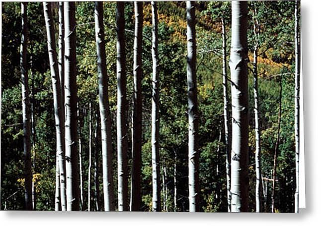 White Aspen Tree Trunks Co Usa Greeting Card