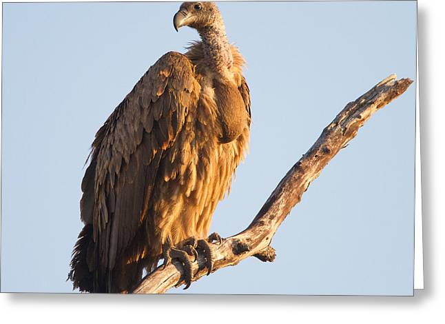 White Backed Vulture Greeting Card by Craig Brown