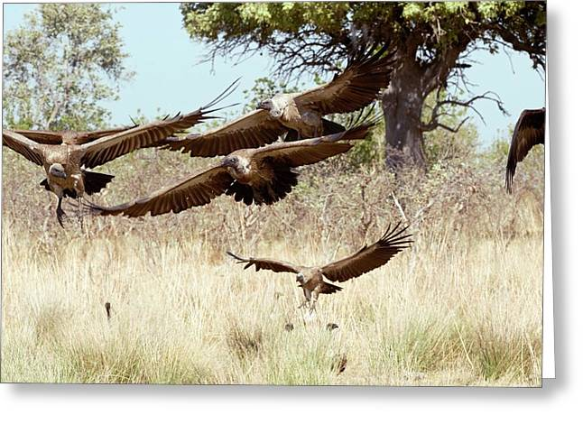 White-backed Vultures In Flight Greeting Card