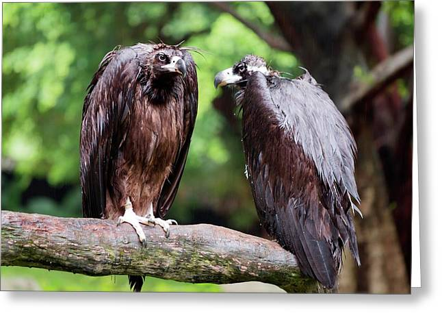 White-backed Vultures In The Rain Greeting Card