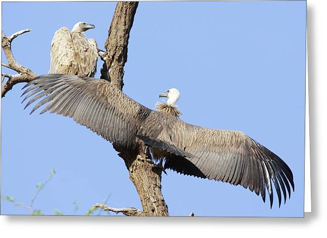 White-backed Vultures Greeting Card
