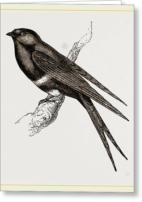 White-banded Swallow Greeting Card by Litz Collection