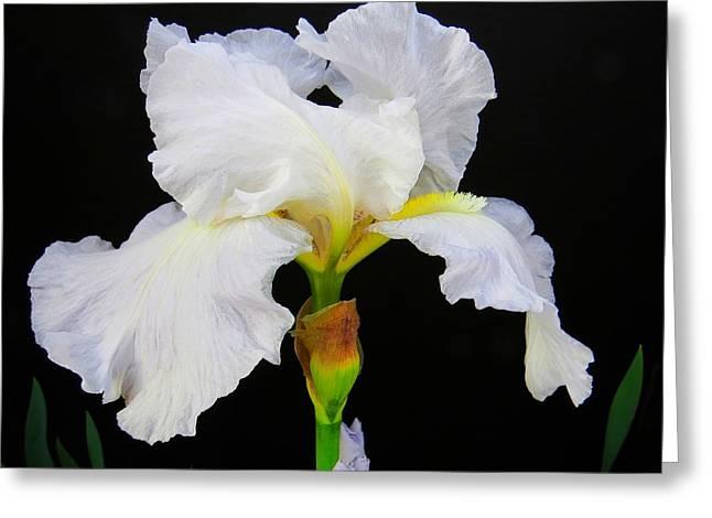 White Bearded Iris Greeting Card by Scott Cameron