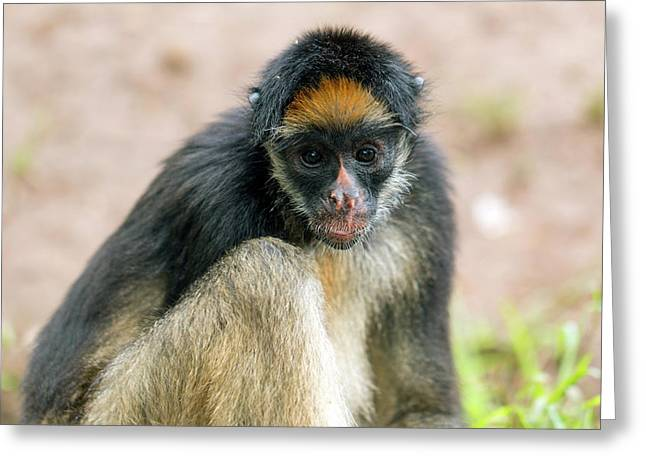 White-bellied Spider Monkey Greeting Card