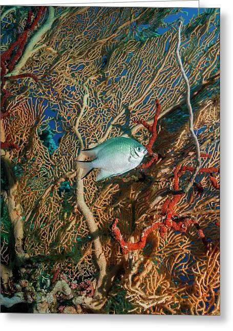 White-belly Damselfish Greeting Card by Georgette Douwma