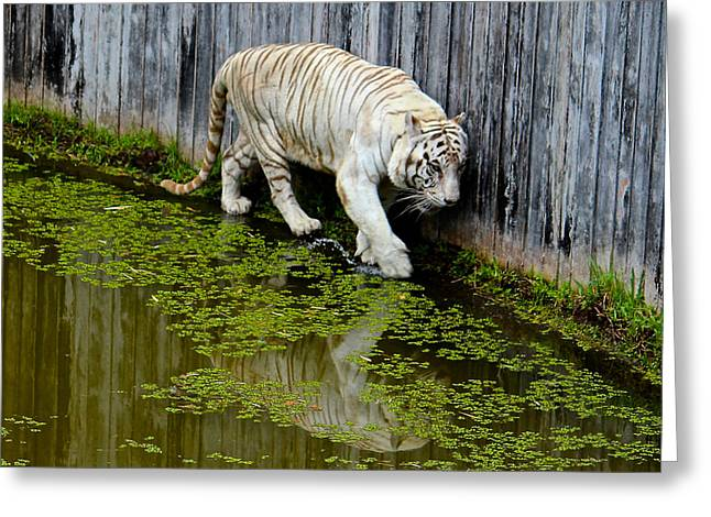 White Bengal Tiger Greeting Card by Venetia Featherstone-Witty