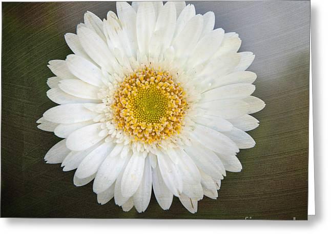 White Bergera Daisy 1 Greeting Card