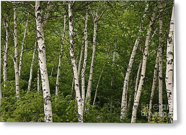 White Birch Greeting Card