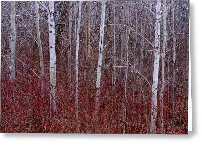 White Birch In The Adirondacks Greeting Card