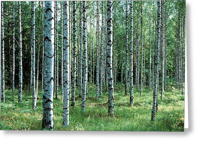 White Birches Aulanko National Park Greeting Card by Panoramic Images