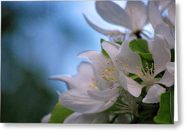 White Blooms Greeting Card by Amee Cave