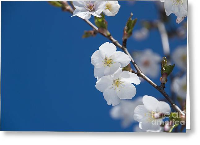 White Blossom Greeting Card by Anne Gilbert