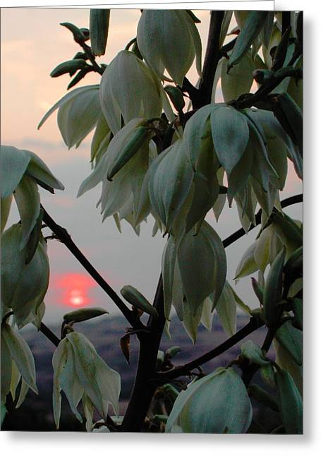 White Blossom Sunset Greeting Card by Dorothy Berry-Lound