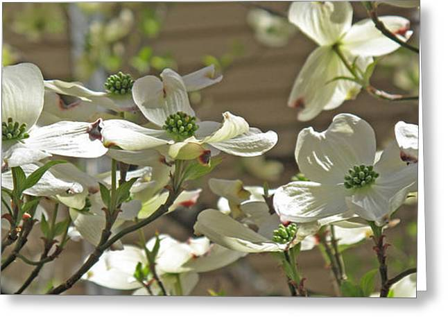 White Blossoms Greeting Card by Barbara McDevitt