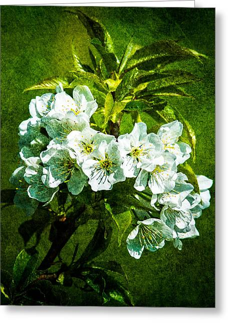 White Blossoms - Color Greeting Card