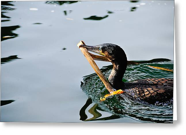 White Breasted Cormorant Greeting Card