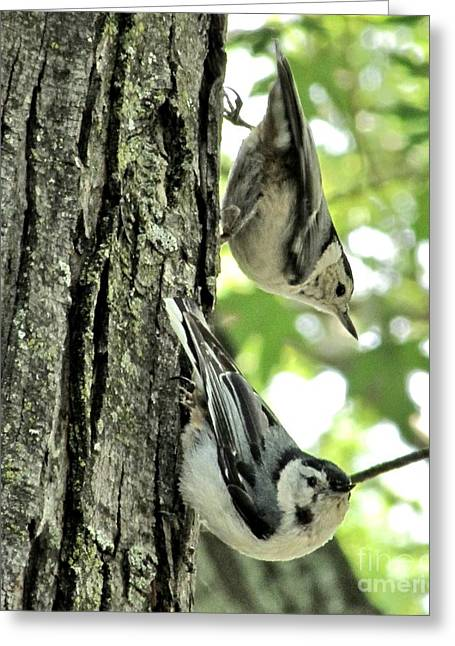 White Breasted Nuthatches Greeting Card