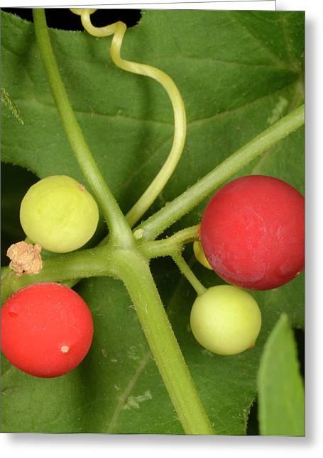 White Bryony Berries Greeting Card by Nigel Downer