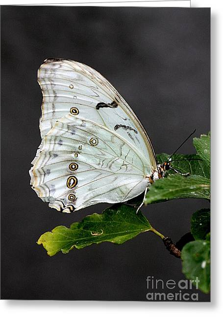 Greeting Card featuring the photograph White Butterfly by Jeremy Hayden
