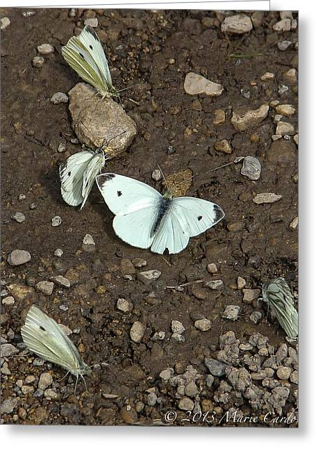 White Cabbage Butterflies Greeting Card by Marie  Cardona