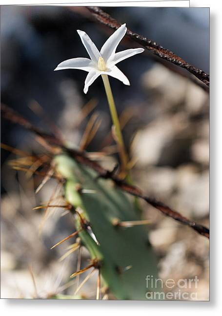 Greeting Card featuring the photograph White Cactus Flower by Erika Weber