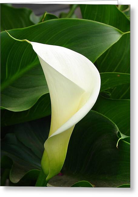 Greeting Card featuring the photograph White Calla by Lew Davis