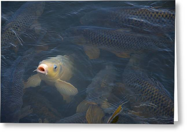 White Carp In The Lake Greeting Card by Chris Flees