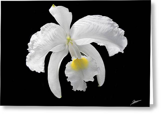 White Cattleya Orchid Greeting Card by Phil Jensen