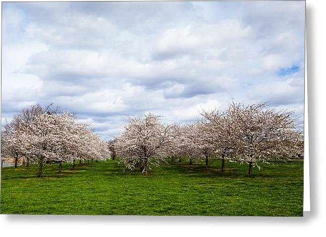 White Cherry Blossom Field In Maryland Greeting Card by Susan Schmitz