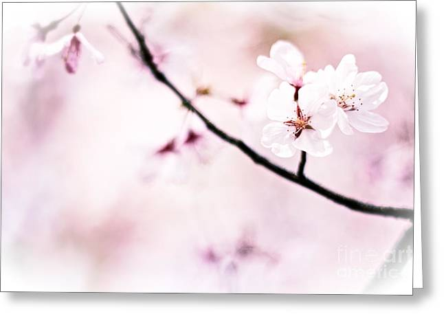 White Cherry Blossoms In The Sunlight Greeting Card