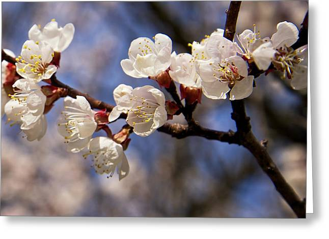 White Cherry Blossoms Greeting Card by Mary Lee Dereske