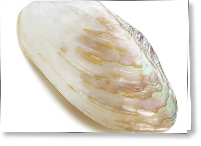 White Coloured Abalone Shell Greeting Card by Science Photo Library