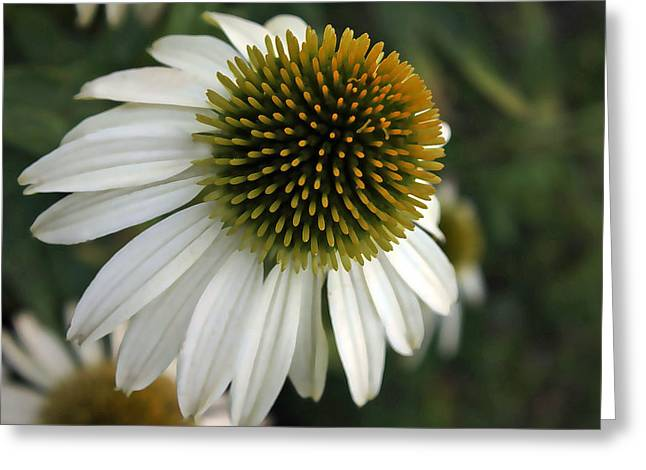 White Coneflower Greeting Card by Ellen Tully