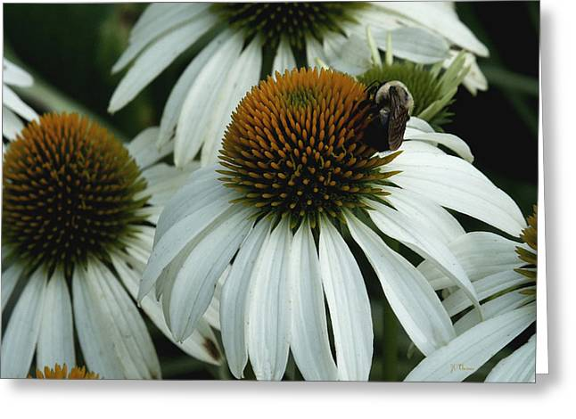 Greeting Card featuring the photograph White Coneflowers  by James C Thomas