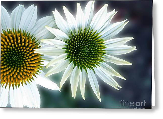 White Conehead Daisy Greeting Card