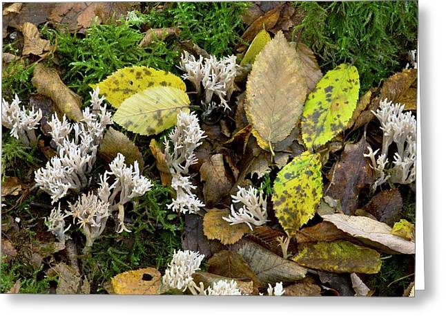 White Coral Fungus (clavulina Cristata) Greeting Card