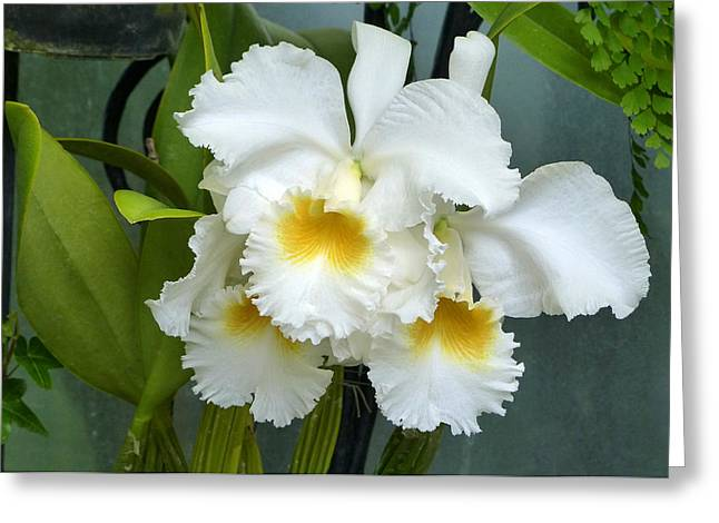Greeting Card featuring the photograph White Corsage Orchid Trio by Cindy McDaniel