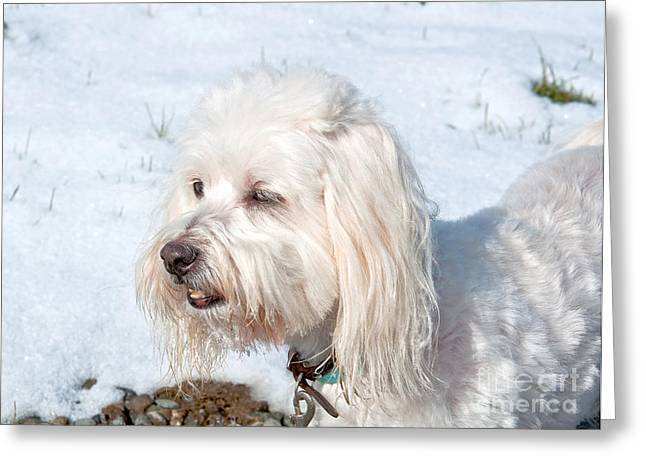 White Coton De Tulear Dog In Snow Greeting Card by Valerie Garner
