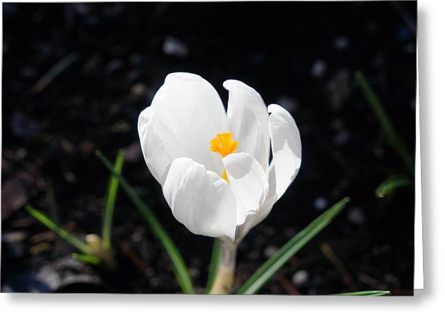 White Crocus Flower Art Prints Spring Greeting Card