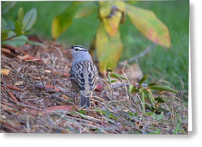 White-crowned Sparrow Greeting Card by James Petersen