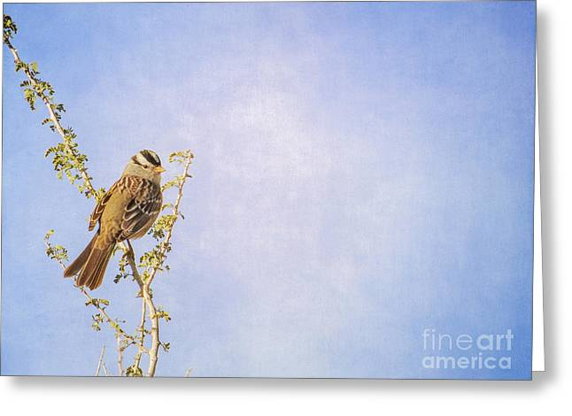 White-crowned Sparrow Greeting Card by Marianne Jensen