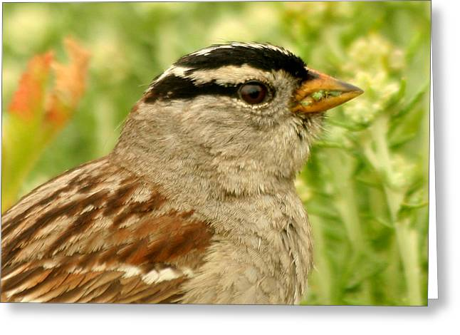 Greeting Card featuring the photograph White Crowned Sparrow Portrait by Bob and Jan Shriner
