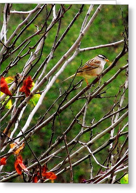 White-crowned Sparrow Greeting Card by Timothy Bulone